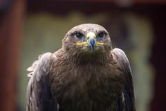 Steppe Eagle, Aquila nipalensis, detail of eagles head. - stock photo
