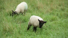 Baby lamb Grazing close up Stock Footage