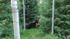 Baby moose lays down next to mamma moose. Stock Footage