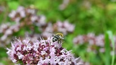Honey bee collecting nectar and pollinating flower in summer Stock Footage