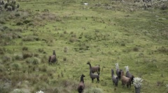 Herd of llamas on the mountains - stock footage