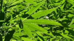 Cannabis / hemp (Cannabis sativa) plants growing  in plantation Stock Footage