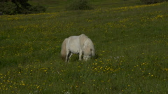 White Horse Grazing in a Rural Field Stock Footage