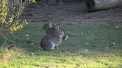 Australia Murramarang beach bunny rabbits sitting on grass Stock Footage