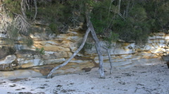 Australia Murramarang beach dead tree Stock Footage