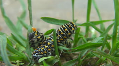 Cute caterpillar couple insect in motion on green grass animal together explore Stock Footage