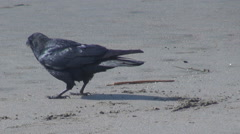 Cute crow search food on sandy beach ocean wave avian silhouette eating wildlife Stock Footage