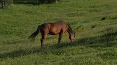 Handheld Shot of Brown Horse Grazing Stock Footage