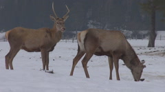 Beautiful deer couple friendly fight antler in winter snow forest reserve day Stock Footage