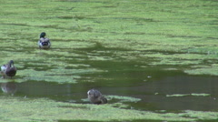 Group of duck search food in lake water wild pond habitat hungry bird in wetland - stock footage