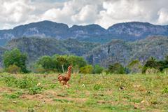 Wild chicken Stock Photos