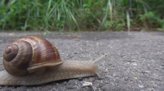 Edible escargot in motion snail animal sliding on sidewalk wet mucus follow day Stock Footage