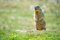 Marmot whistling to give alarm - stock photo