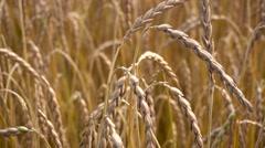 ripe wheat field view - stock footage