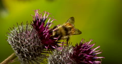 Honey Bee Pollinating Flower of Burdock and Flies Away Stock Footage