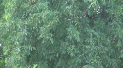 Heavy rain fall and walnut tree branch motion unripe nut fruit hang in orchard  Stock Footage