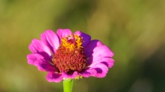 Bumblebee on the Zinnia Flower Stock Footage