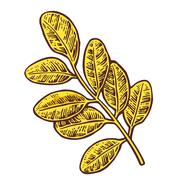 Acacia leaf. Vector color vintage engraved illustration - stock illustration
