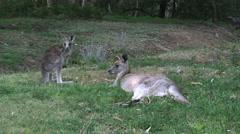 Australia kangaroos at Halls Gap mother and young good Stock Footage