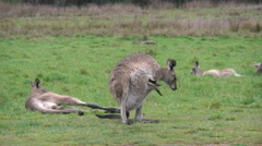 Australia Kosciuszko Kangaroo joey sticks head out of pouch Stock Footage