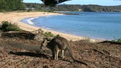 Australia Murramarang beach kangaroo turns toward beach Stock Footage