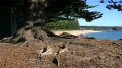 Australia Murramarang kangaroo under tree Stock Footage