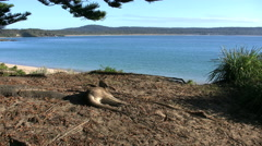 Australia Murramarang kangaroo with sea behind Stock Footage
