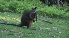 Australia Yarra Ranges Wallaby nods head Stock Footage