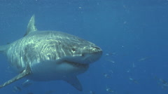 Great White Shark slowly passes by camera Stock Footage