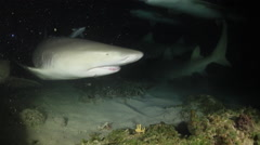 A Lemon Shark hits the top of an underwater camera at night Stock Footage