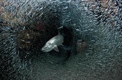 Silversides evading their prey, The Grotto, Grand Cayman. Stock Photos