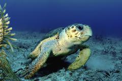 Loggerhead sea turtle, Nassau, The Bahamas. - stock photo