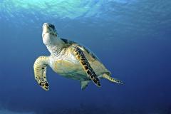Hawksbill sea turtle ascending, Nassau, The Bahamas. - stock photo