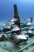 Silver grunts swmming around Treasure Wreck, Nassau, The Bahamas. Stock Photos