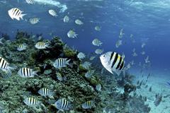 School of sergeant major fish, Nassau, The Bahamas. Stock Photos