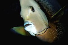 Close-up view of a gray angelfish, Grand Cayman. - stock photo
