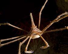Arrow Crab, West Palm Beach, Florida. - stock photo