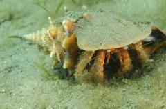 Blue-eyed hermit crab, West Palm Beach, Florida. Stock Photos
