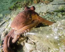 Common octopus protecting a bottle, West Palm Beach, Florida. Stock Photos