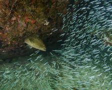 A Tiger Grouper chasing minnows at the Benwood shipwreck. Stock Photos