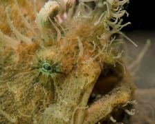 Hairy frogfish, Lembeh Strait, Indonesia. - stock photo