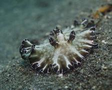 Borwn and white nudibranch, Lembeh Strait, Indonesia. - stock photo