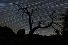 A dead Pinyon pine tree and star trails, Joshua Tree National Park, California. Kuvituskuvat
