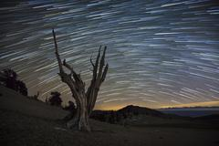 A dead bristlecone pine tree against a backdrop of star trails. - stock photo
