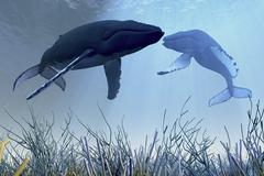 Two humpback whales over a reef in shallow ocean waters. Piirros