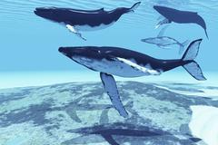 Humpback whales swim together on their migration route. Piirros