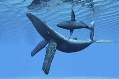A humpback whale calf swims around its mother in the ocean. Stock Illustration