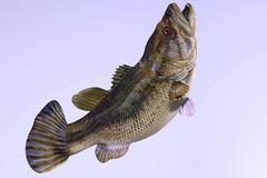 Largemouth Bass Stock Illustration