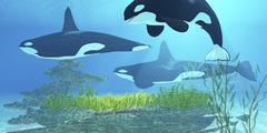 Three killer whales pass over a reef on a journey to find their next prey. - stock illustration