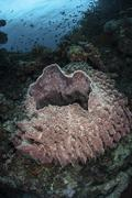 A massive barrel sponge grows n the Solomon Islands. Stock Photos